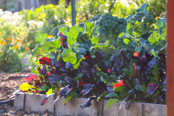 Terraced, gopherproof bed of broccoli and beets