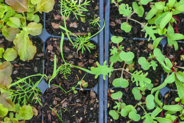 Choice varieties of veg seedlings