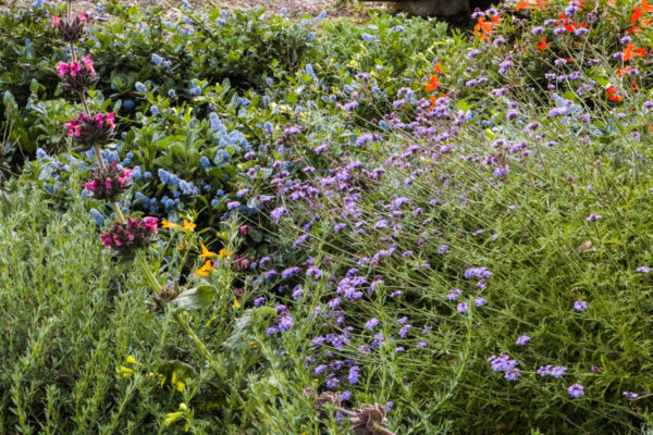 Habitat patch of native Californian species and cultivars provides forage and cover for birds, bees, butterflies, lizards, and other orchard beneficials.