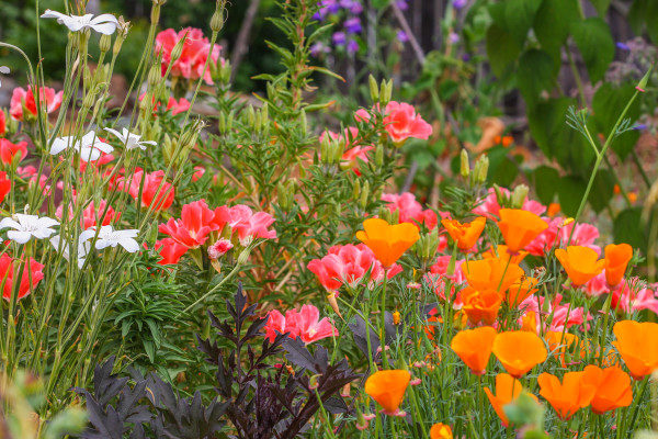 A pollinator patch for beauty and wildlife, incorporating both native California wildflowers species and favorite garden cultivars